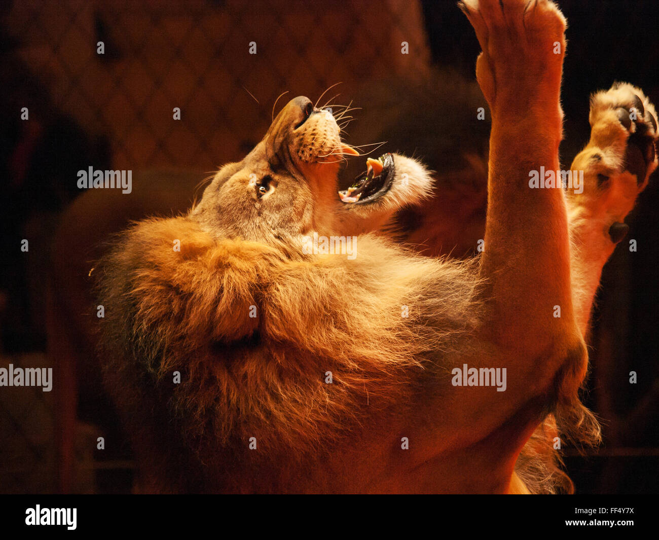 Lion raised up his paws and roaring upward - Stock Image