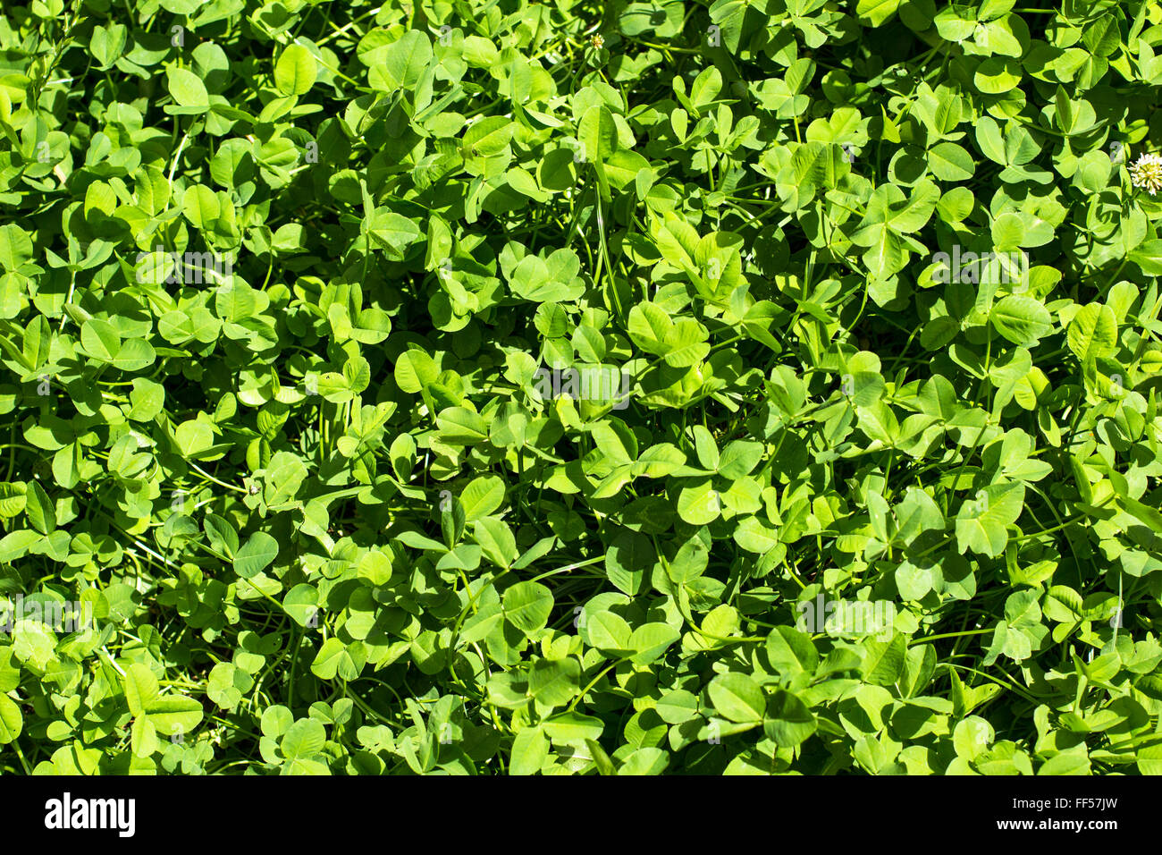 Clover And Lawn Stock Photos Amp Clover And Lawn Stock