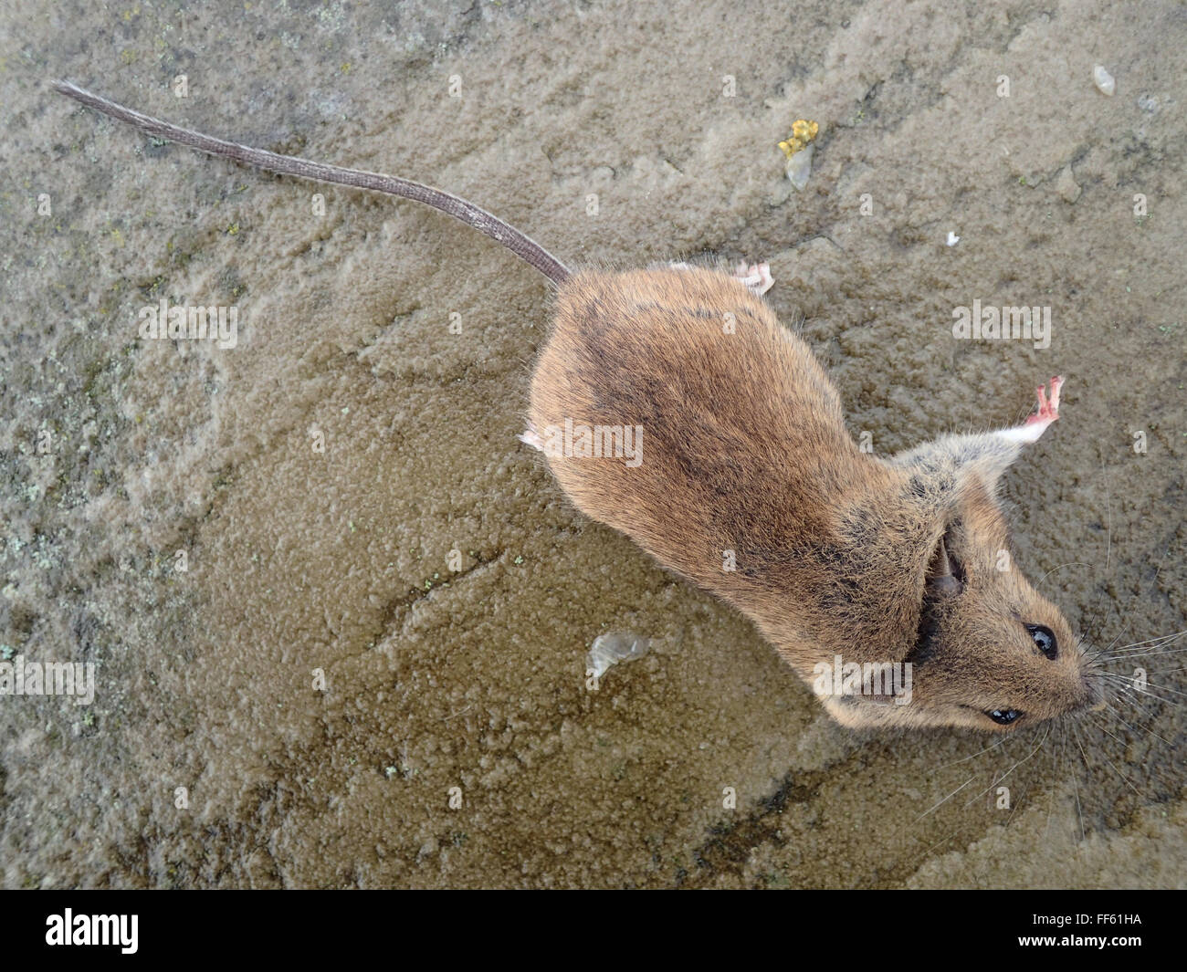 Dorsal view of dead house mouse (Mus musculus) killed by mouse trap, on limestone paving slab - Stock Image