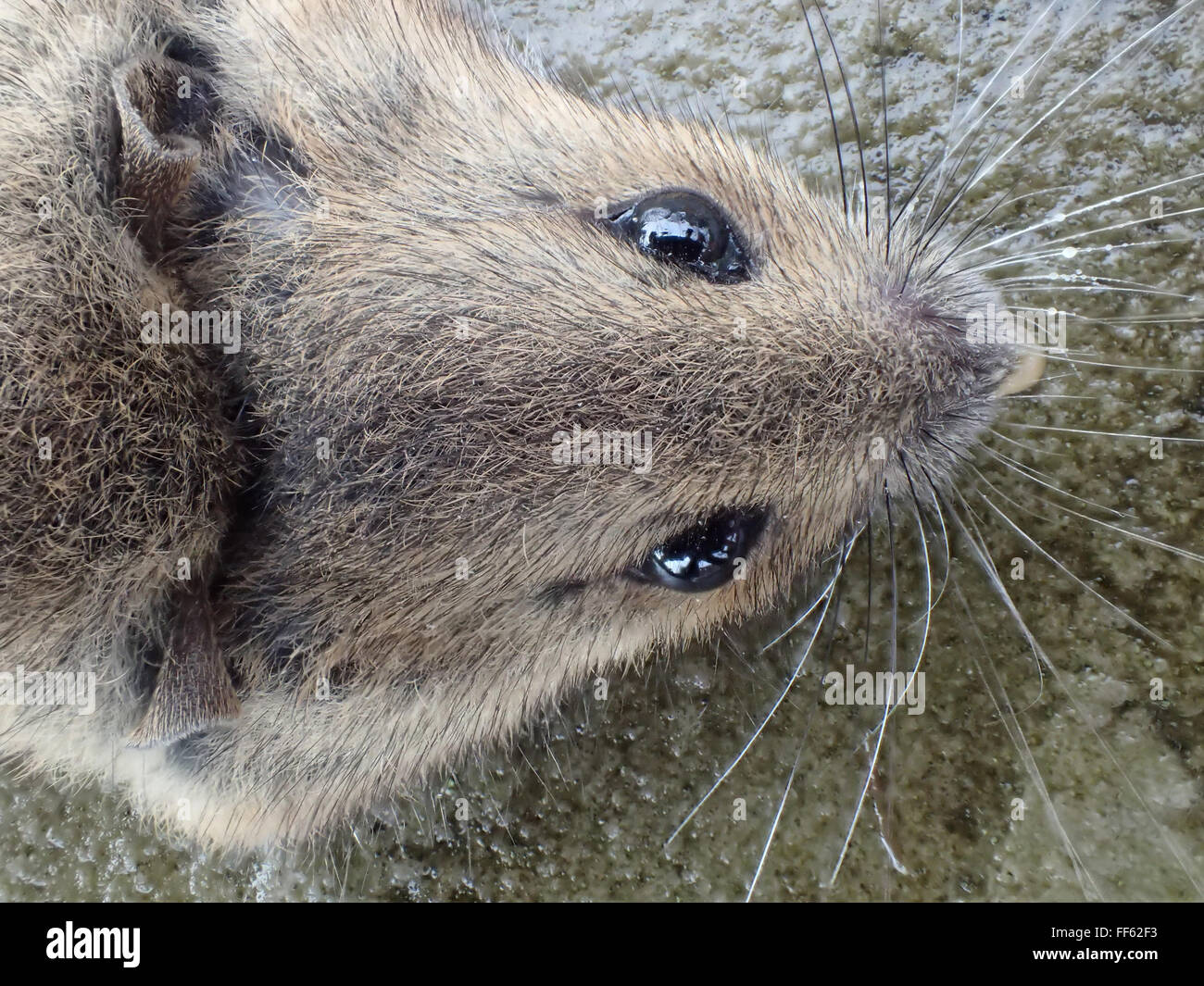 Macro dorsal view of head of dead house mouse (Mus musculus) killed by mouse trap, on limestone paving slab - Stock Image