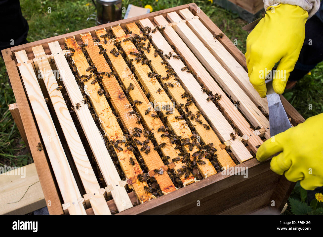 Honey frames lined up inside a bee hive. Urban bee keeping ...