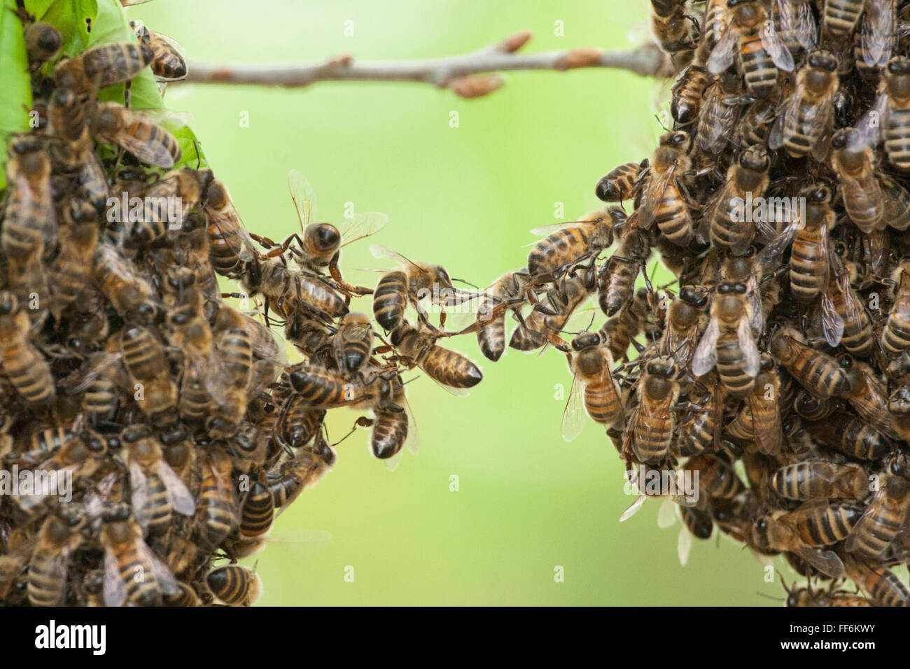 Teamwork of bees linking two bee swarm parts. Metaphor for concept of trust, teamwork, cooperate, partnership, bridge, - Stock Image