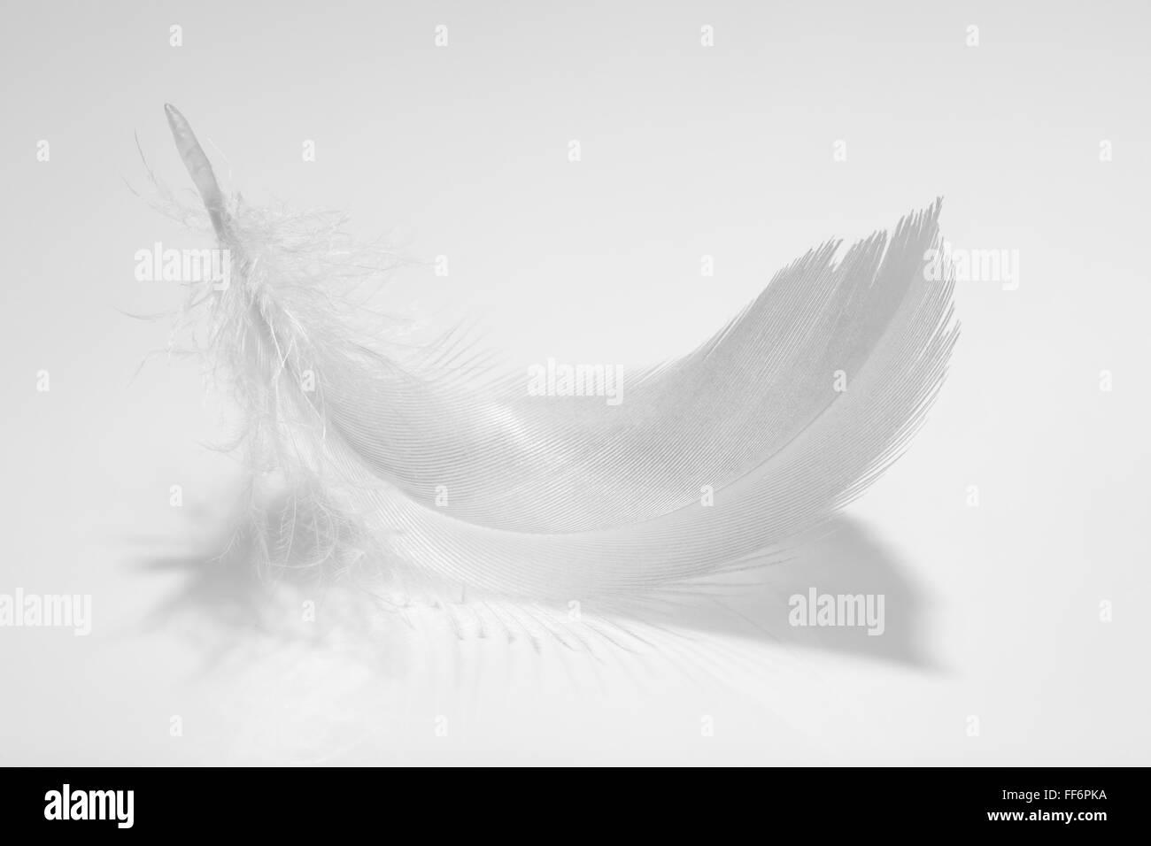 Closeup of birds feather. - Stock Image
