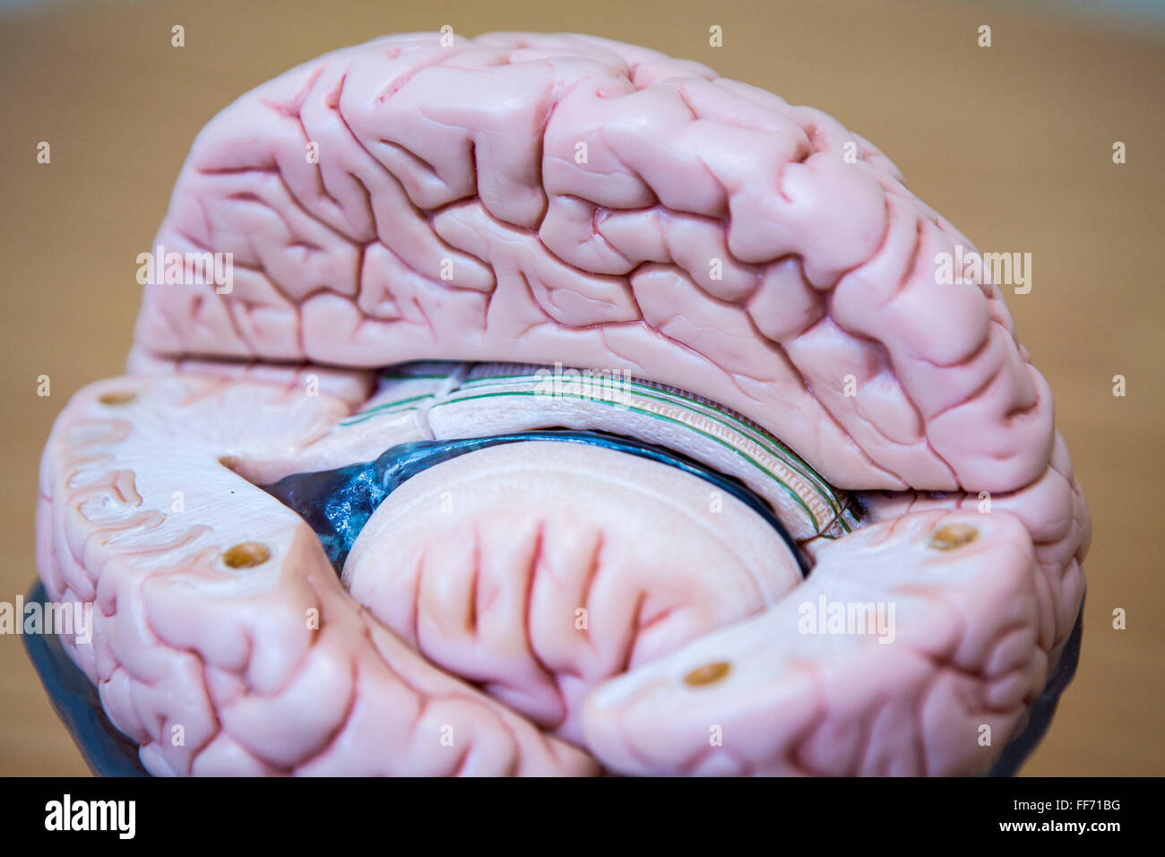 A Cross Section Model Of A Human Brain Showing The Inner And Outer