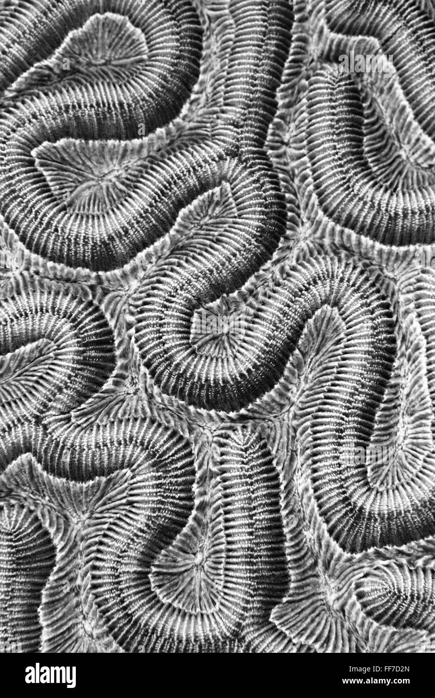 Black and white Abstract of Brain coral showing complexity, pattern and detail. - Stock Image