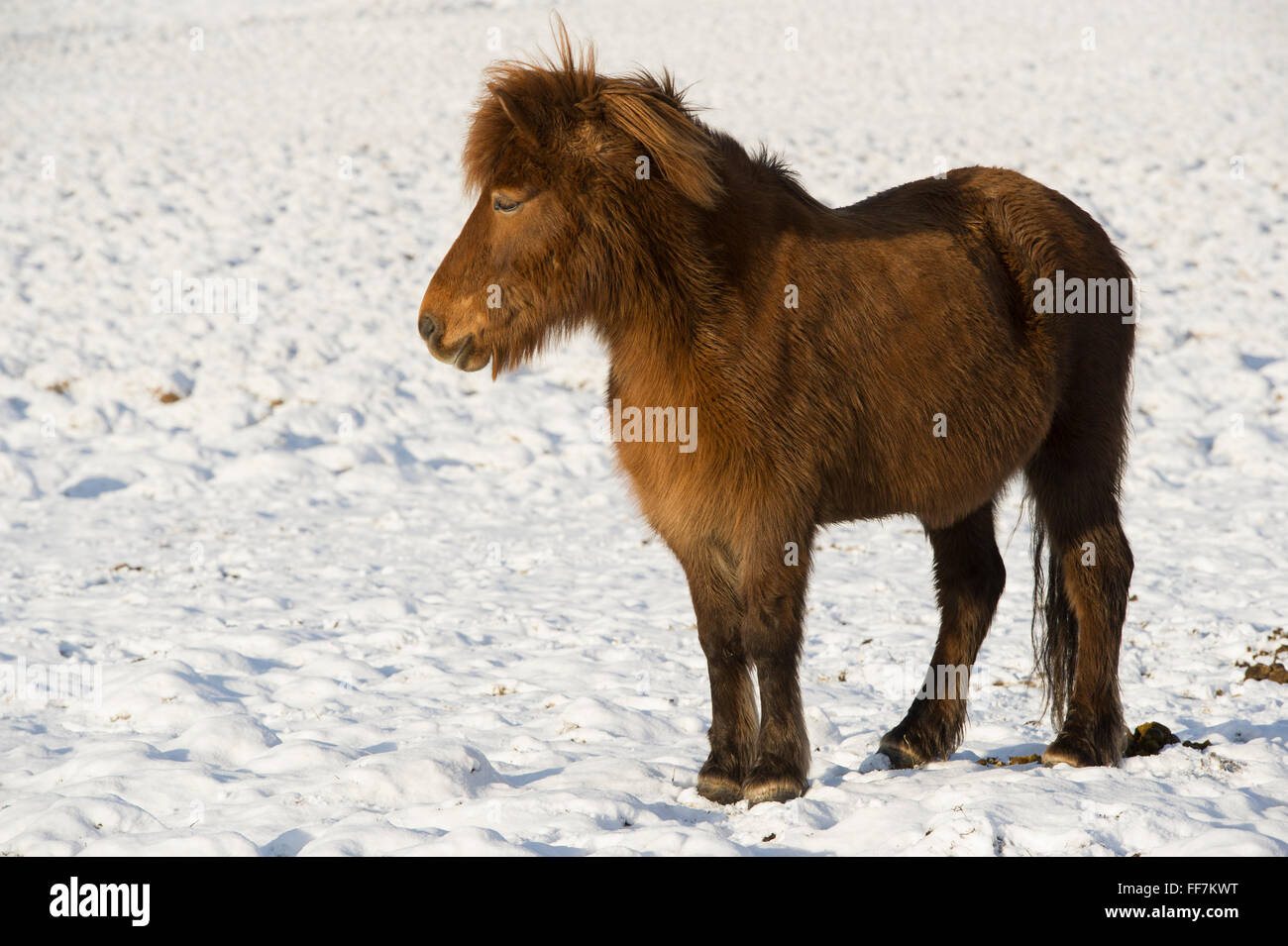 An Icelandic Horse (Pony) in the snow covered fields during winter - Stock Image