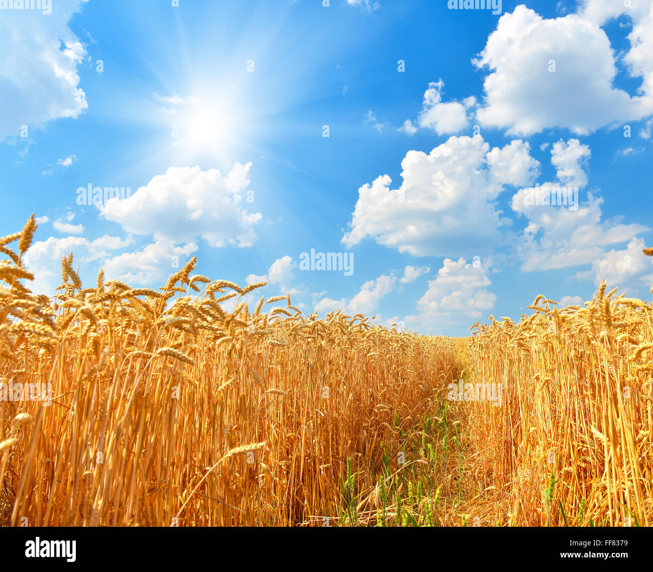 Wheat field in summer countryside - Stock Image