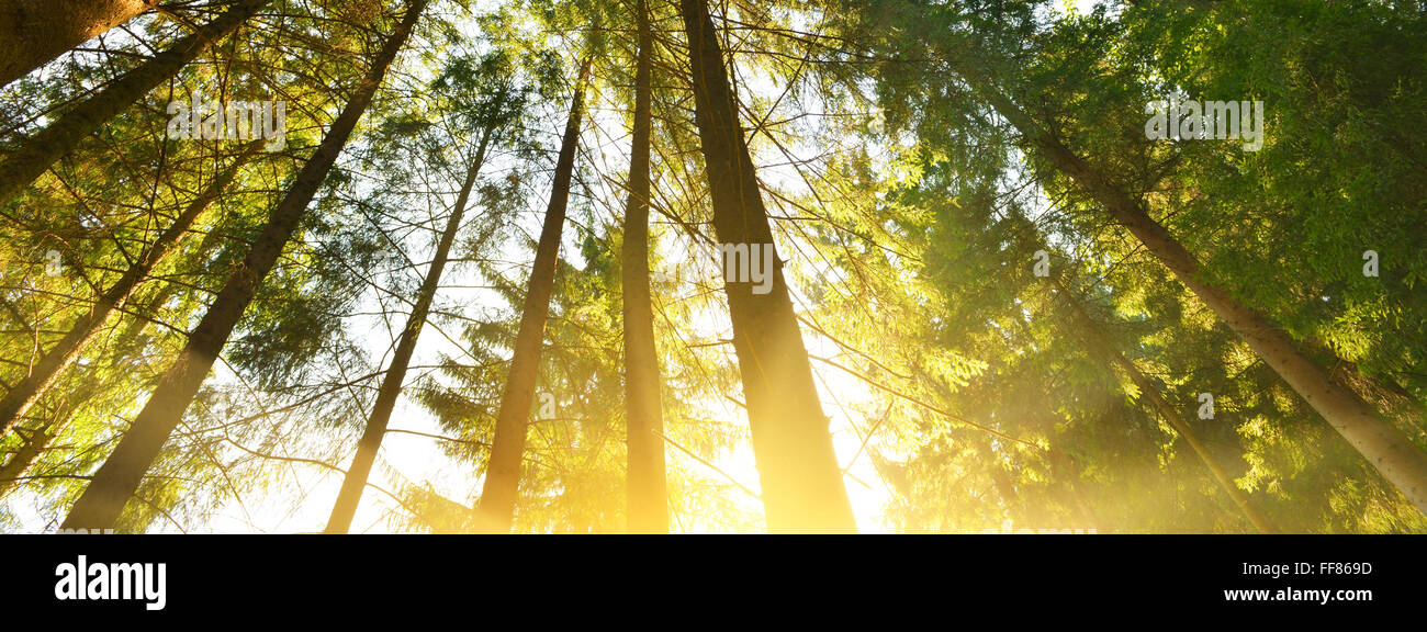 Morning in summer forest with warm sunlight. - Stock Image