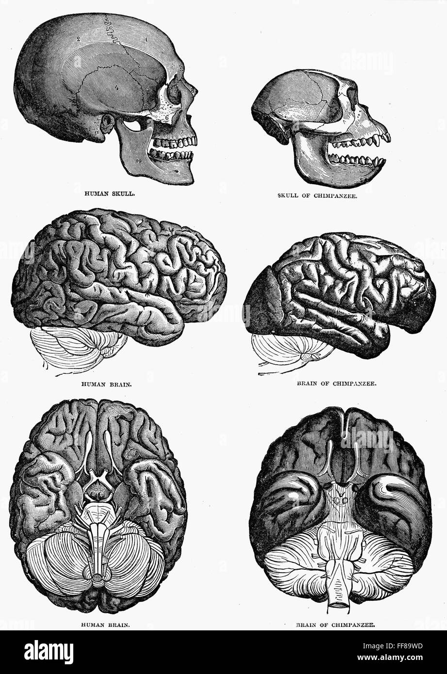 COMPARATIVE BRAINS. /nThe brain of a man compared with the brain of ...
