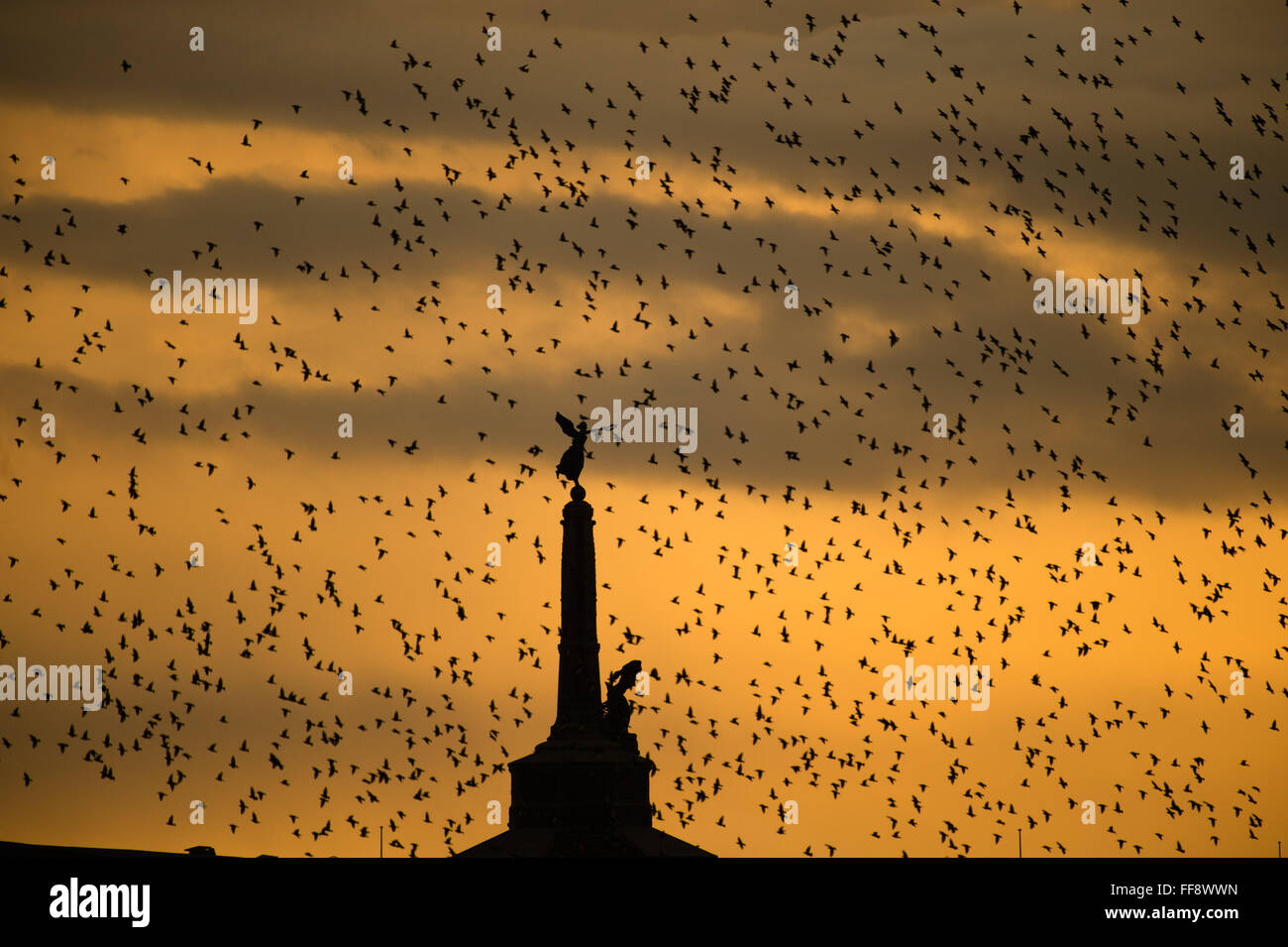 Aberystwyth, Wales, UK. 11th February, 2016.  UK weather: A flock of thousands of tiny starlings fly in huge 'murmurations' - Stock Image