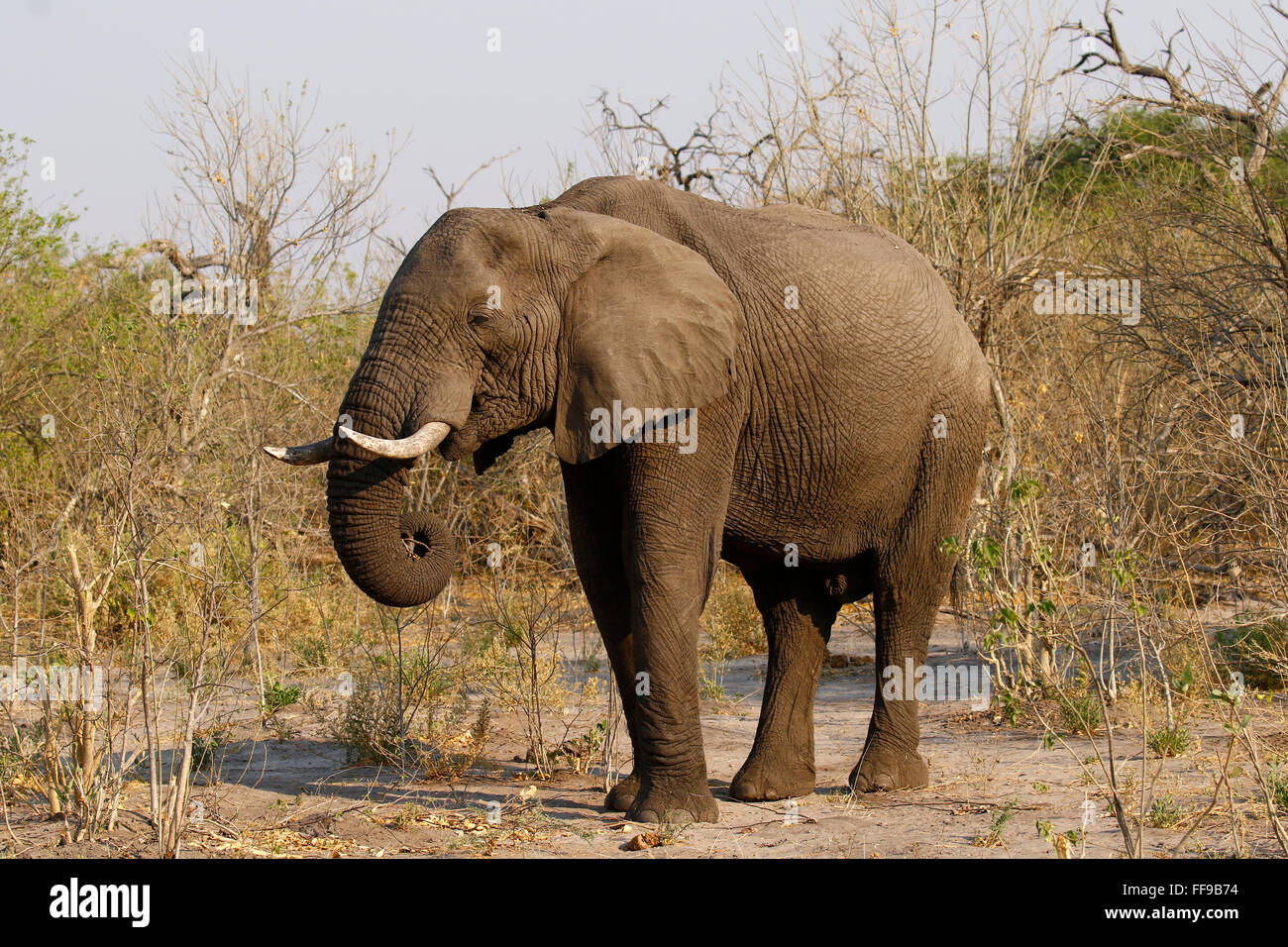 Both Male And Female African Elephants Have Tusks Tusks Grow For