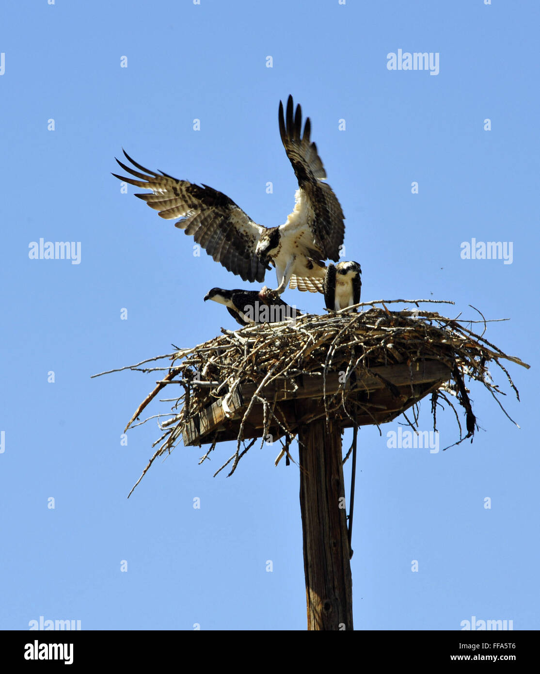 Nesting Osprey with two fledglings.  The parent is bringing a fish for them to feed. Nest is near the  Salmon River - Stock Image