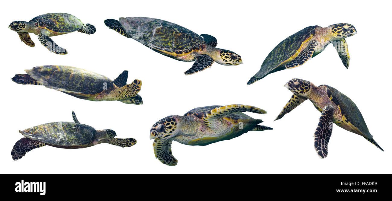 set of isolated sea turtles on white background - Stock Image