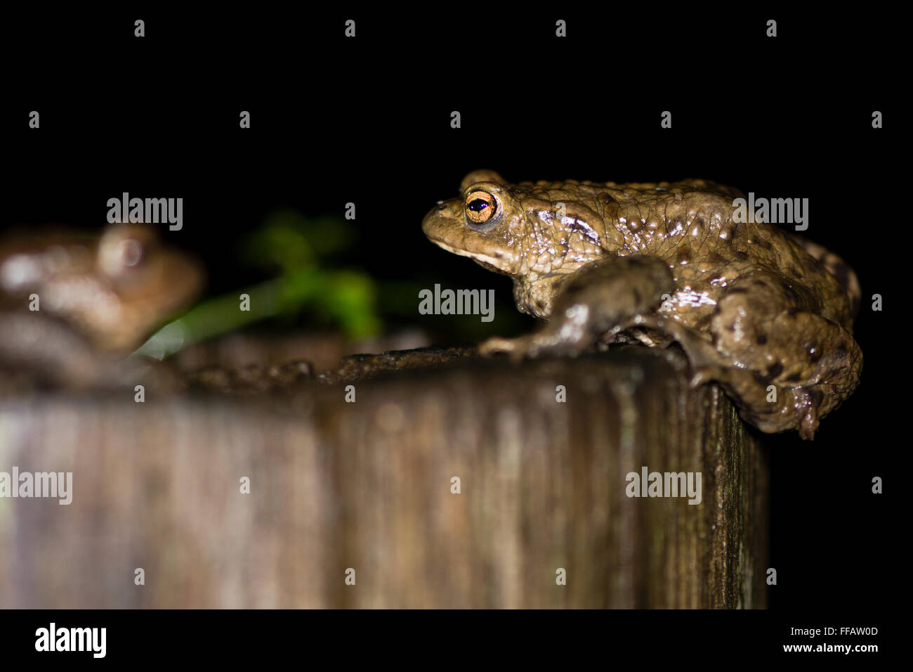 Two toads (Bufo bufo). A common toad climbs onto a wooden post, and faces another out of focus - Stock Image