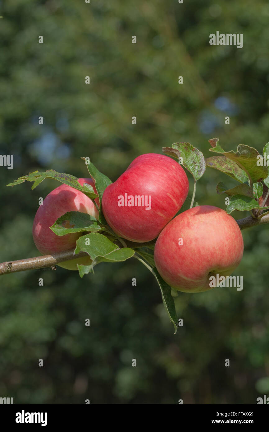 Apples variety 'Bardsey'. Medium sized eating apple. Rediscovered tree 1998, growing against house on island - Stock Image
