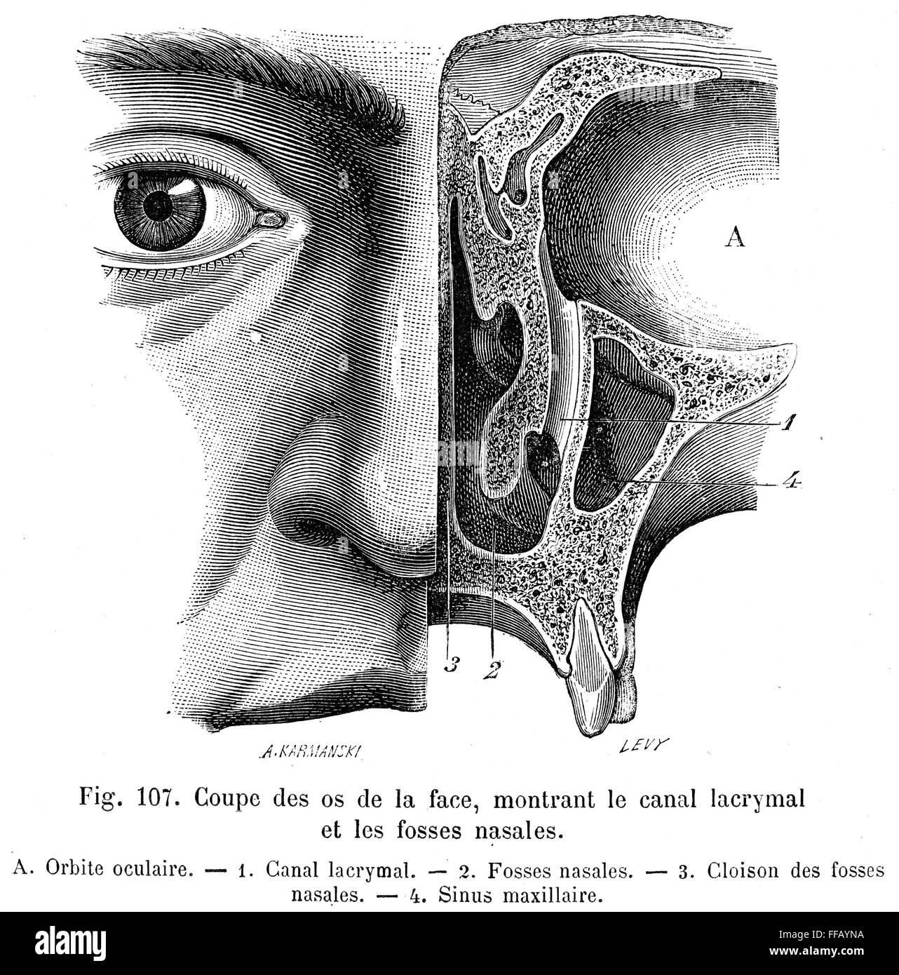 ANATOMY: NASAL CAVITY. /nTear duct and lacrimal gland. 19th century ...