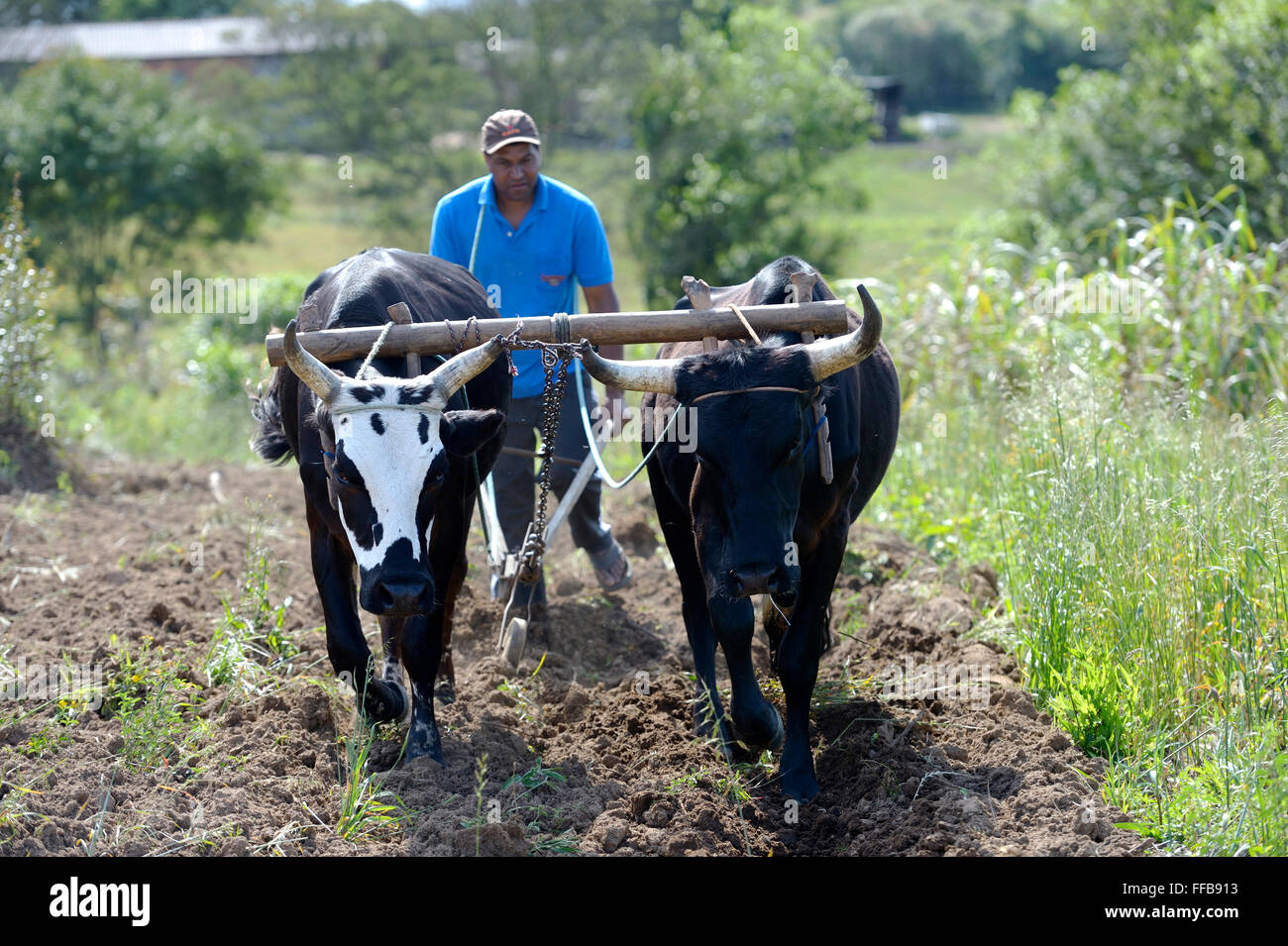 Farmer plowing field with wooden plough, yoke of oxen, Afro-Brazilian settlement Quilombo Monjolo, Sao Lourenco - Stock Image