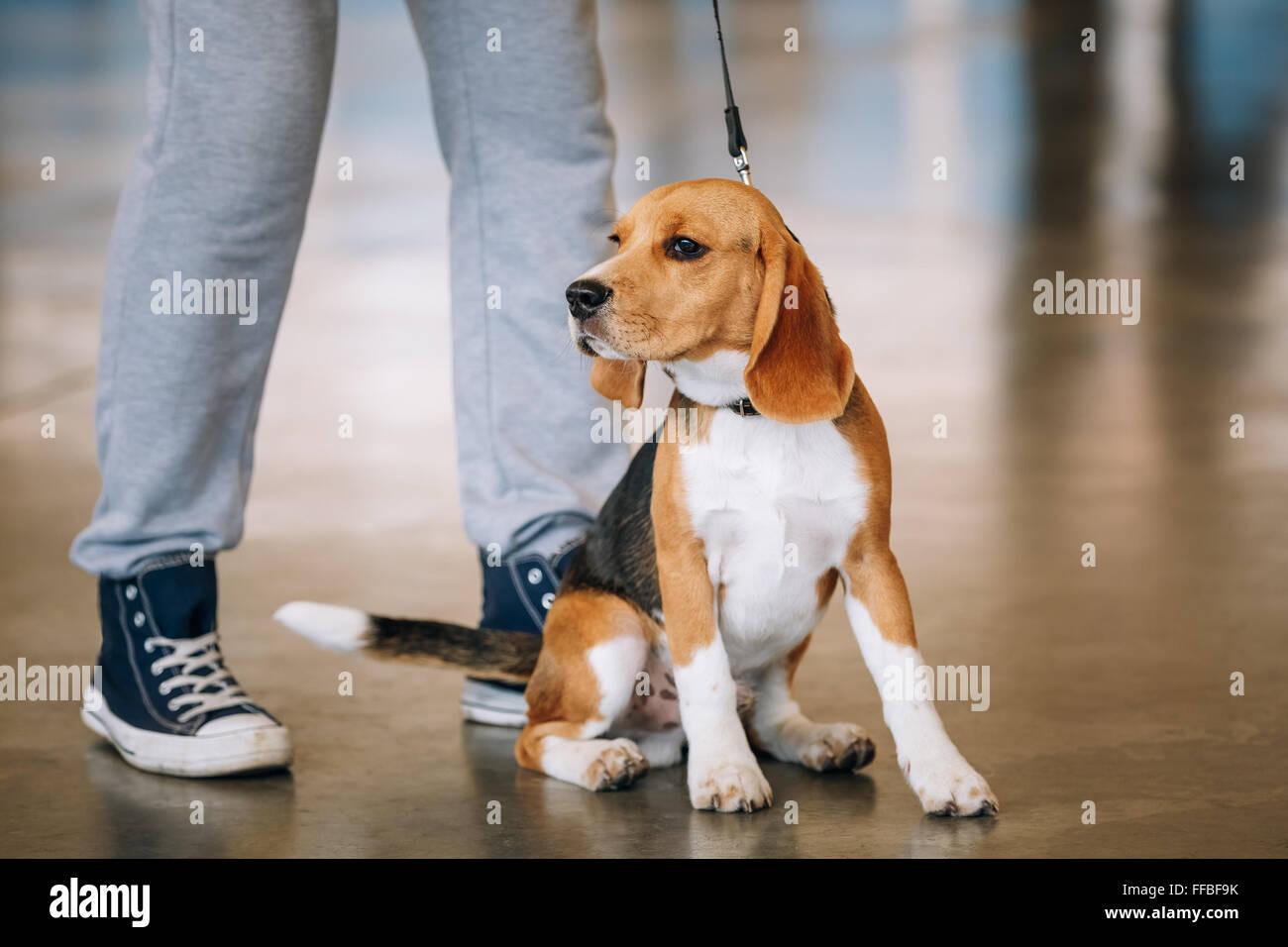 Young Beagle Dog Sitting Near Owner. - Stock Image