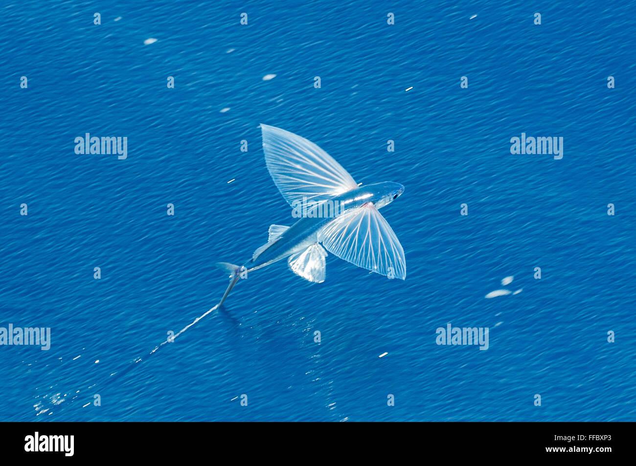 Flying Fish, Cheilopogon pinnatibarbatus melanocercus, Bay of Plenty, New Zealand Stock Photo