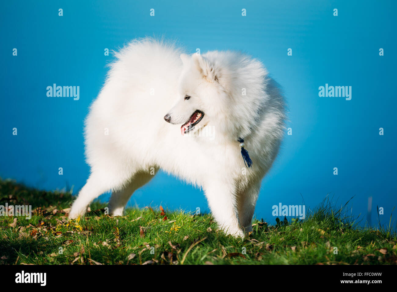 Happy White Samoyed Dog Outdoor in park on background of river - Stock Image
