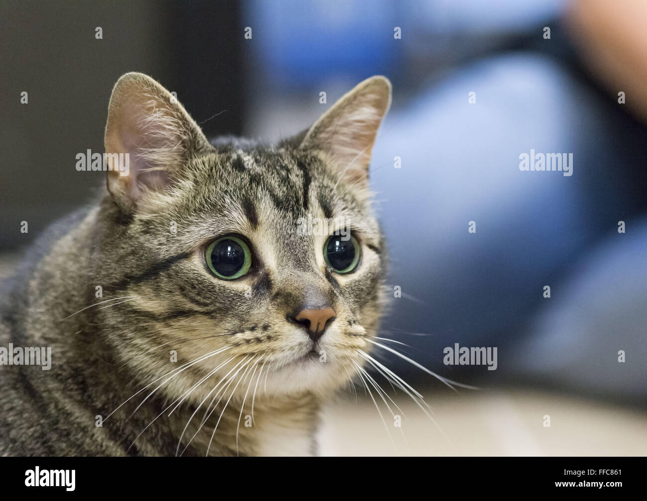 Wantagh, New York, USA. 7th Feb, 2016. Mingling with visitors, Tabby cat ALEXANDER, the Mayor of Last Hope Rescue, - Stock Image