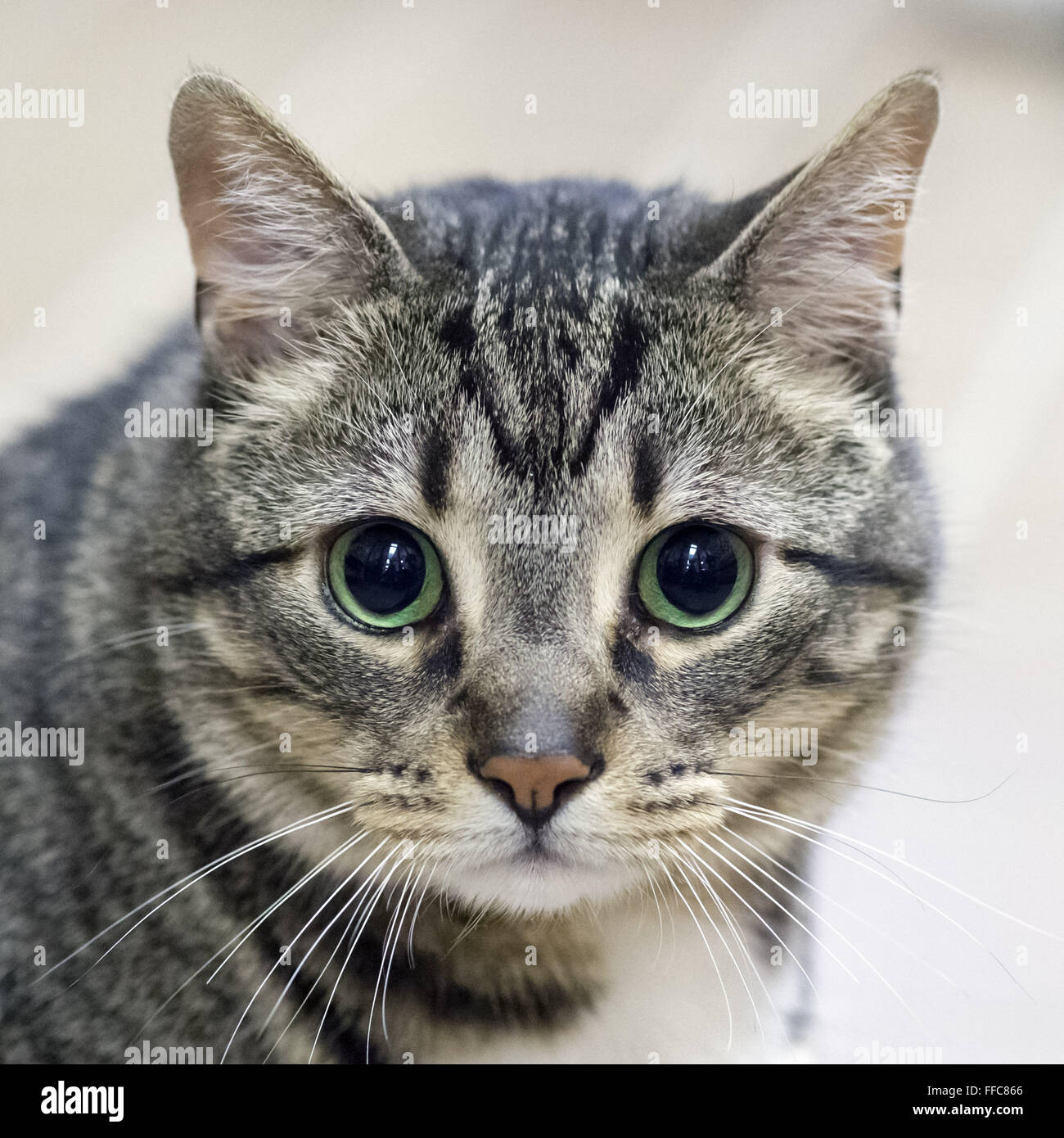 Wantagh, New York, USA. 7th Feb, 2016. Tabby cat ALEXANDER, the Mayor of Last Hope Rescue, is available for adoption - Stock Image