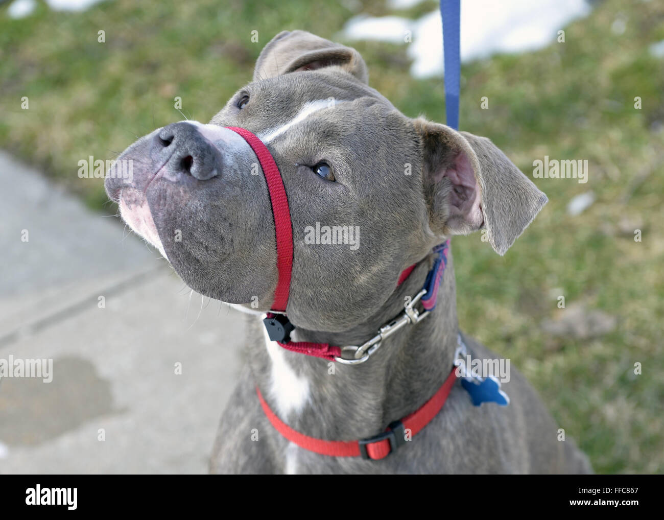 Wantagh, New York, USA. 7th Feb, 2016. Ford, a friendly gray pit mix who is available for adoption, wears a red - Stock Image