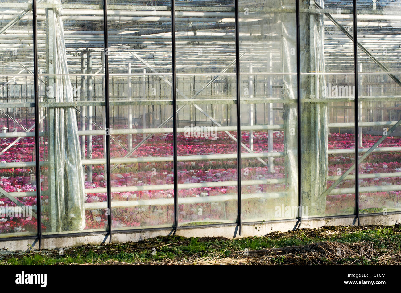 Flowers through the glass panels of a greeenhouse.flowers - Stock Image
