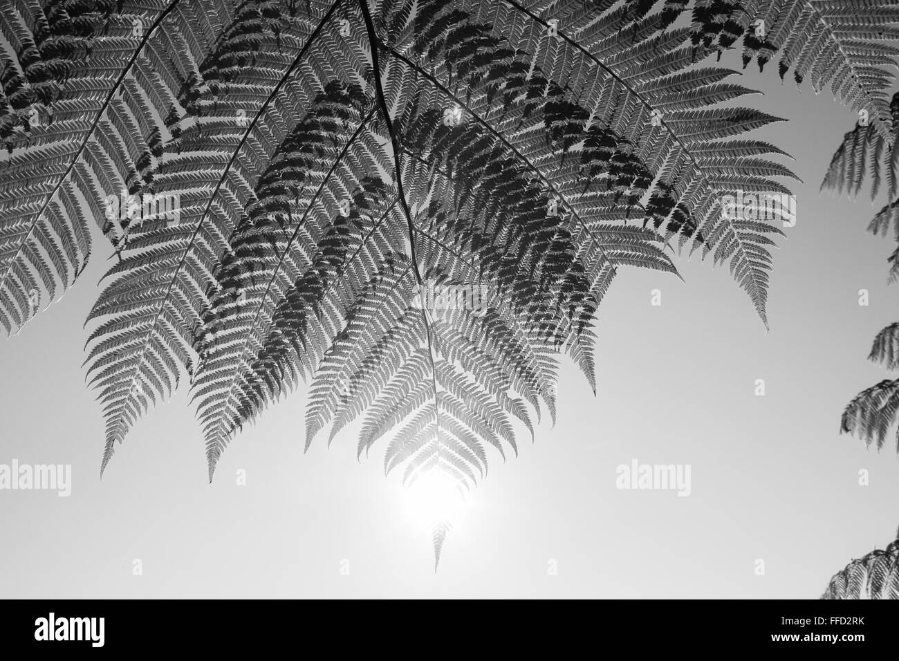 Waitakere,Auckland,North Island,New Zealand,Pacific,fern,nature,natural,green,leaf,leaves,maori,symbol,traditional,iconic,image, - Stock Image