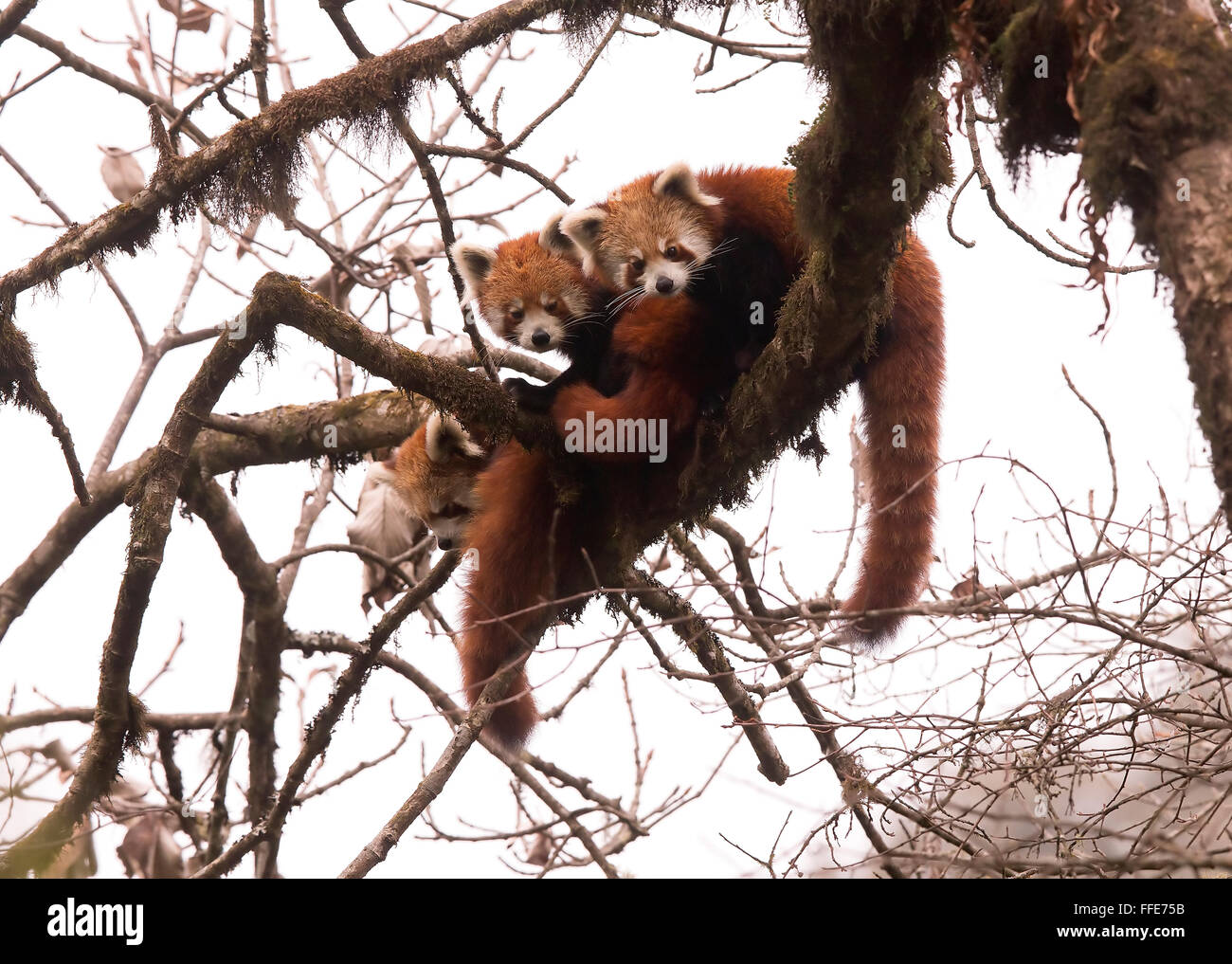 Wild Red Pandas in Eastern Himalayas of India - Stock Image