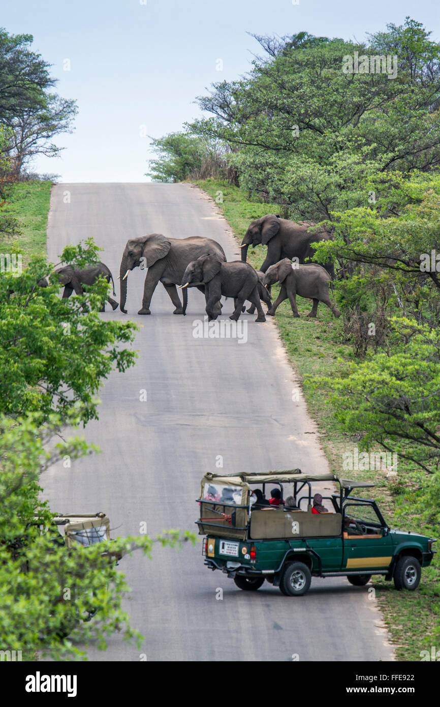Jeep safari watching elephant in Kruger national park, South Africa ; Specie Loxodonta africana family of Elephantidae - Stock Image