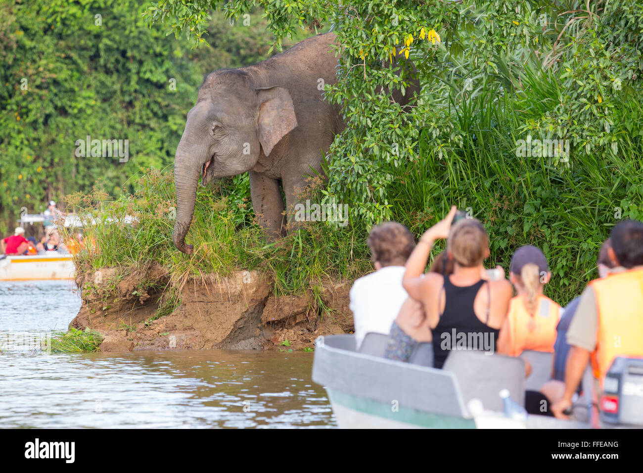 Tourists watching wild Bornean Pygmy Elephants from boats on the Kinabatangan River, Sabah, Malaysia - Stock Image