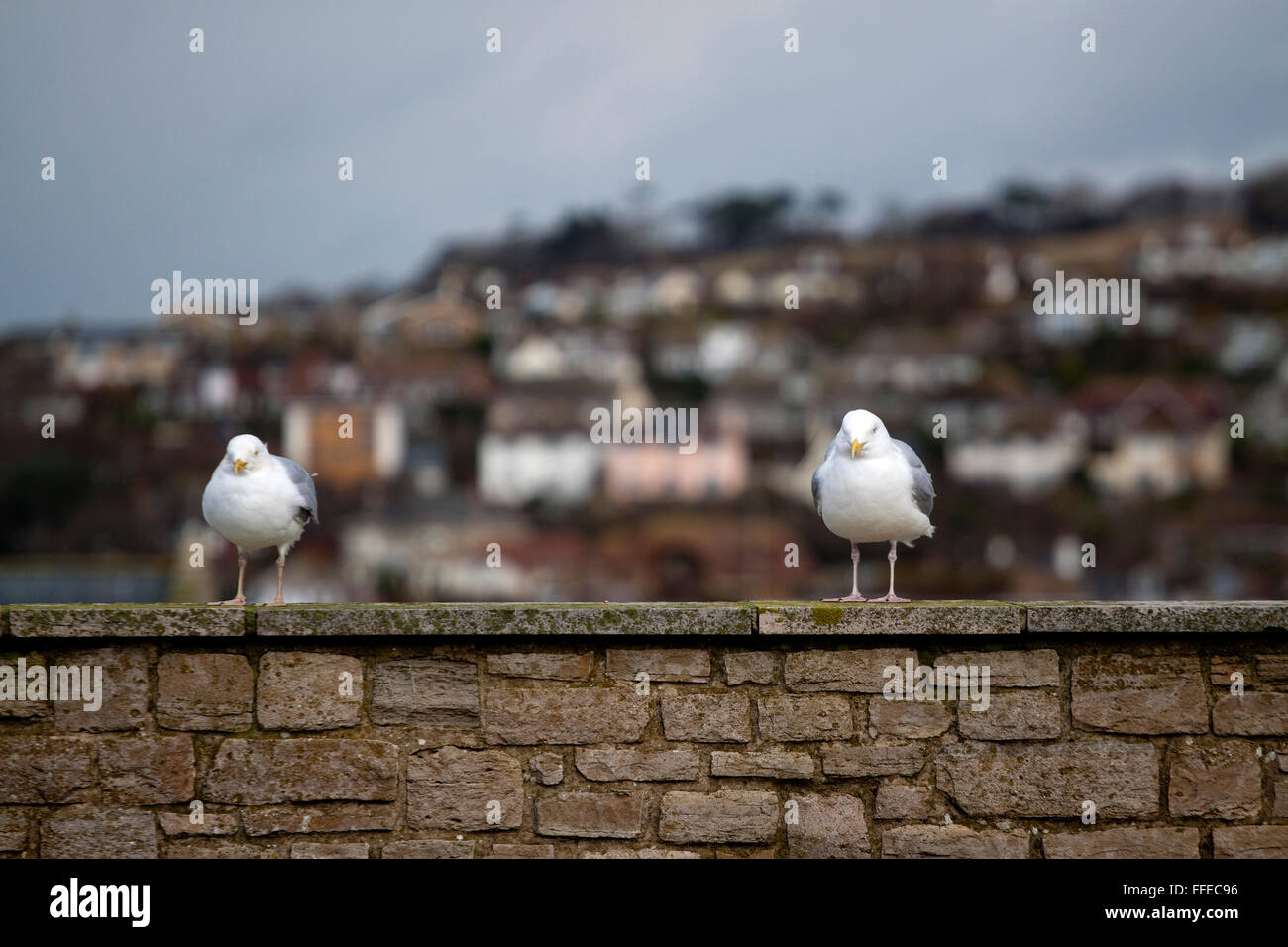 Two seagulls on a wall just far enough apart that they may have fallen out - Stock Image