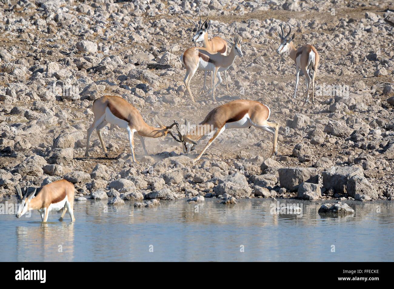 Springbok rams fighting at Okaukeujo in the Etosha National Park - Stock Image
