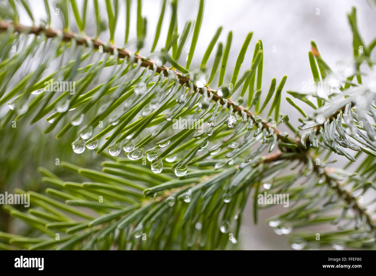 Europe, Germany, waterdrops on fir needles. - Stock Image