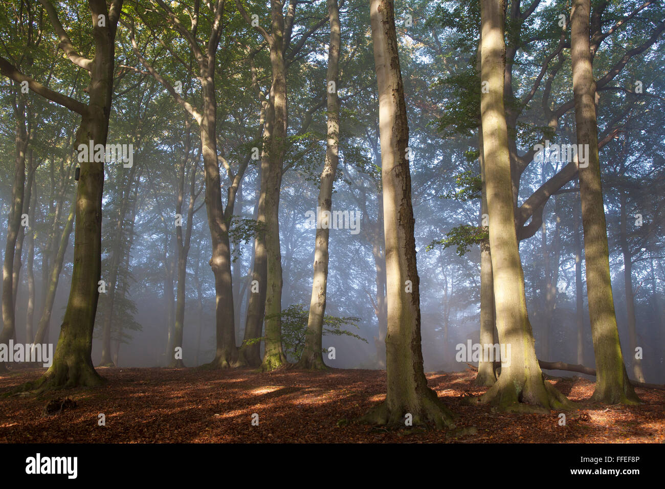Europe, Germany, North Rhine-Westphalia, autumn in a forest at the Ruhrhoehenweg in the Ardey mountains near Wetter Stock Photo