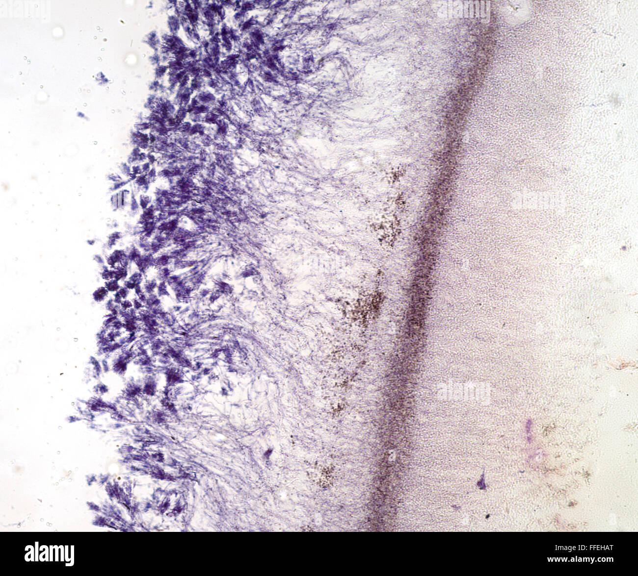 Microscopic image Penicillin - Stock Image