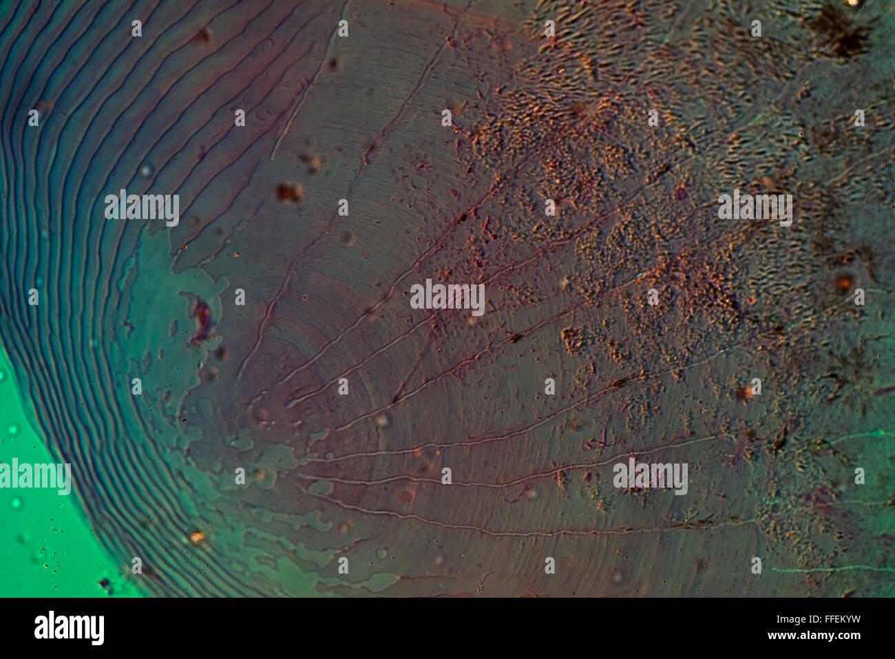 Microscopic image fish scale - Stock Image