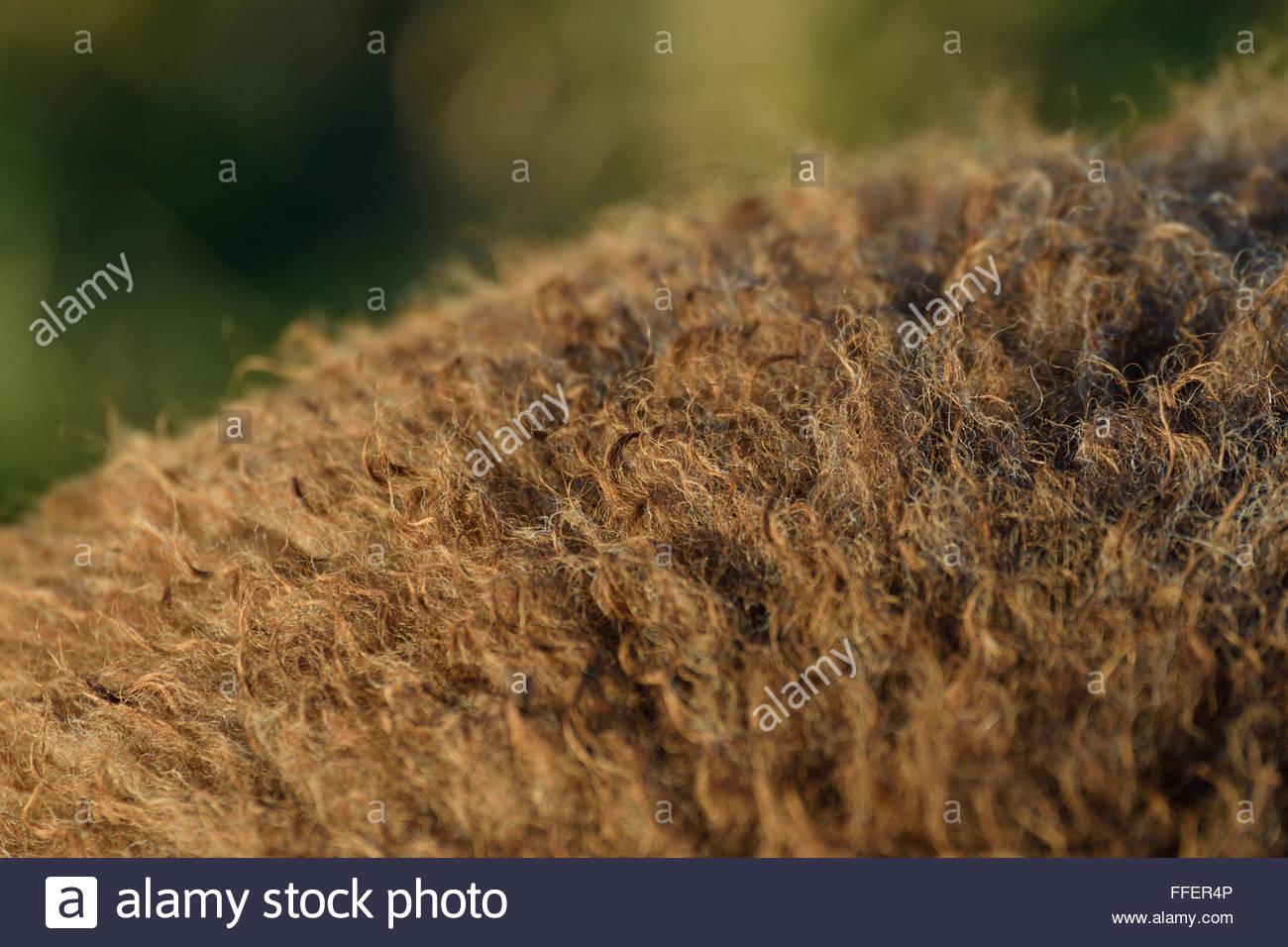 Lamb wool - Stock Image