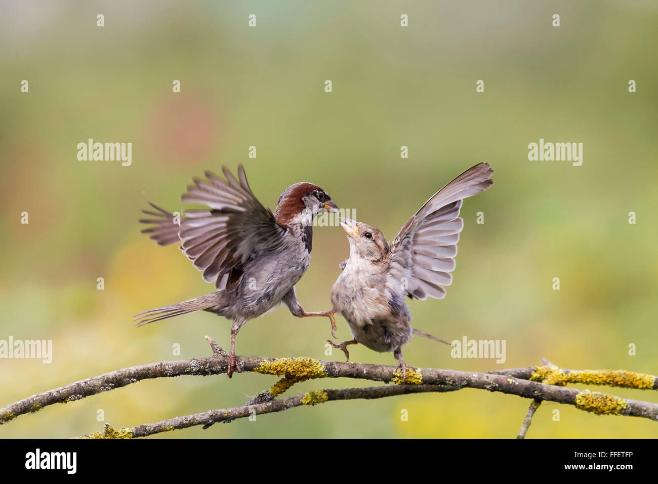 two birds pair sparrows fight brawl males spring tree branch spread its wings feathers beaks feet - Stock Image
