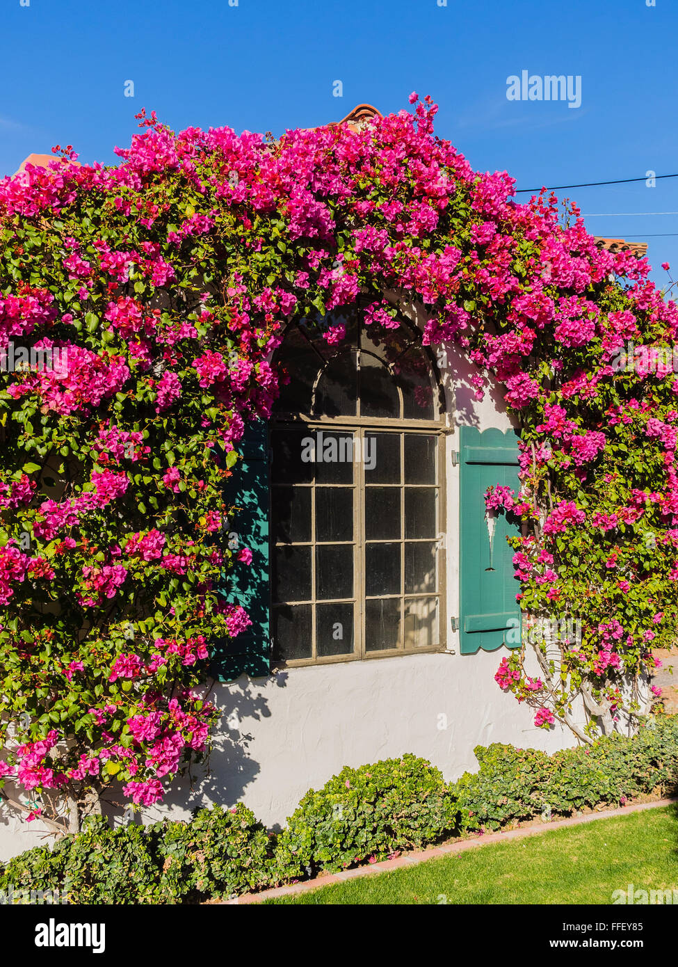 Bougainvillea flowers form an arch over a window of an old adobe bougainvillea flowers form an arch over a window of an old adobe style stucco house in the older part of palm springs ca mightylinksfo