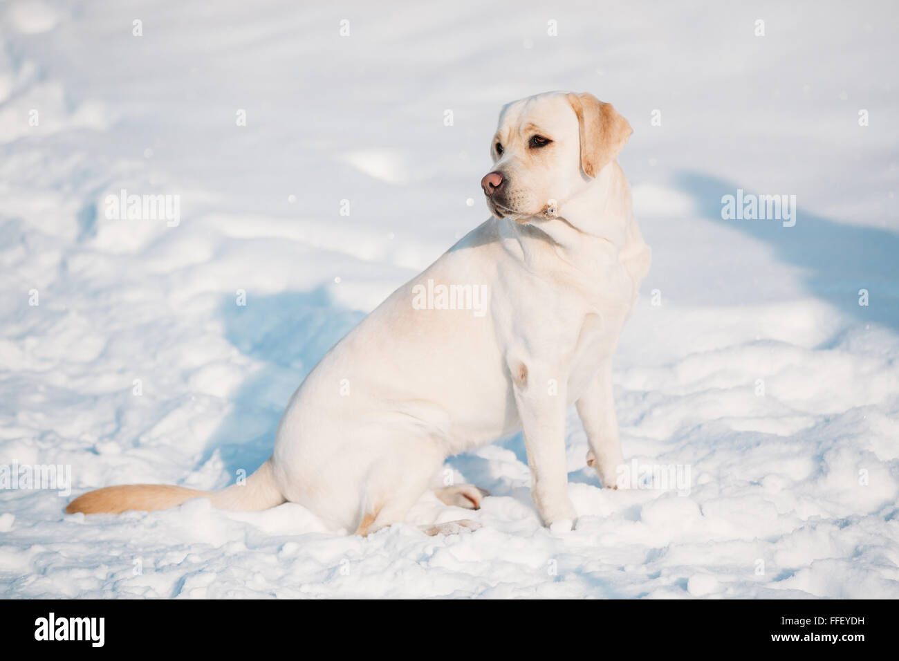 Young labrador dog sit in snow, winter season. Sunny day - Stock Image