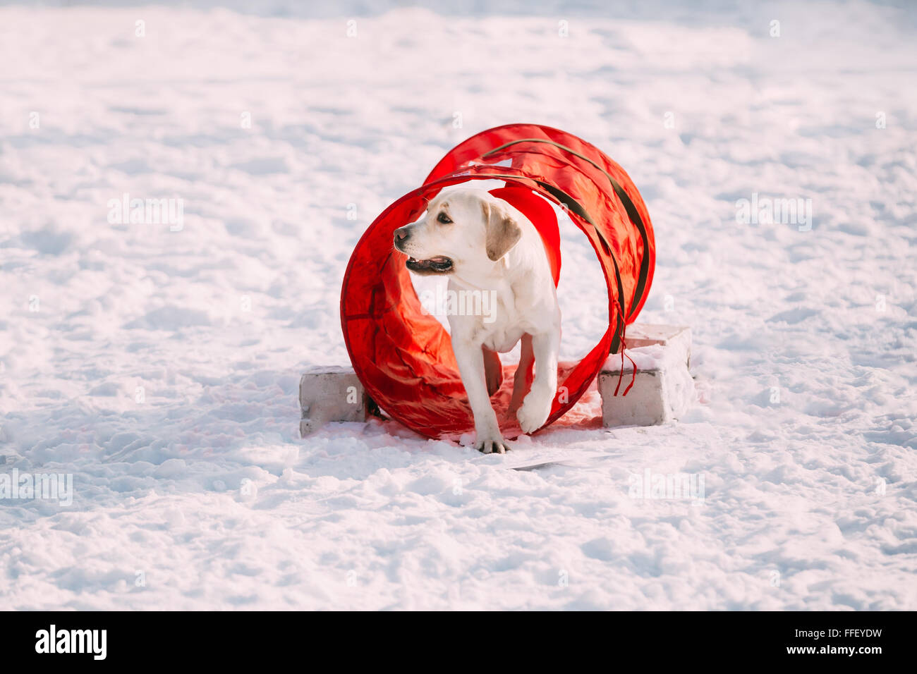 Young funny labrador dog playing outside in snow, winter season. Sunny day. Agility dog training. - Stock Image