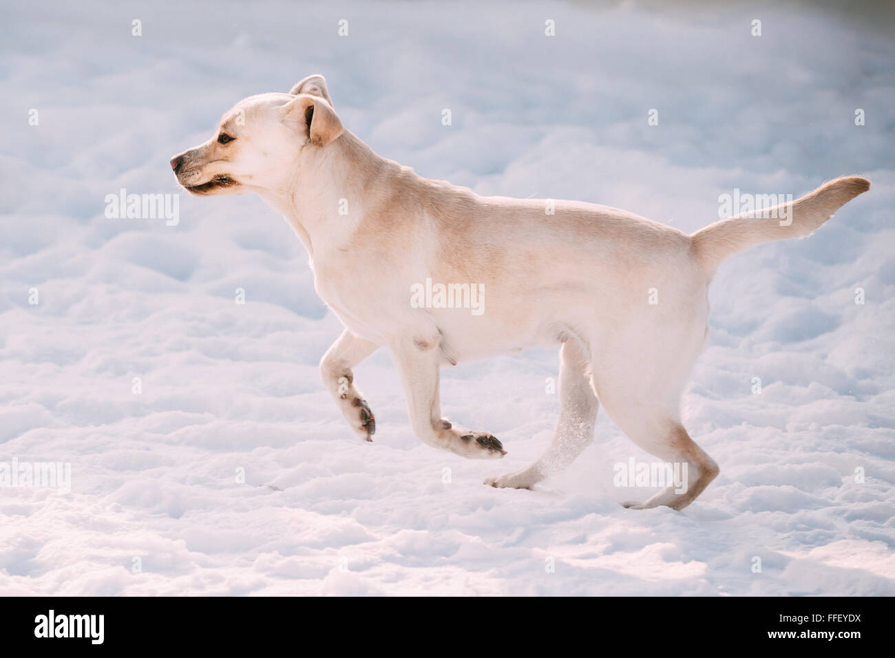 Young funny Labrador dog playing outside, fast running on snow, winter season. Sunny day - Stock Image