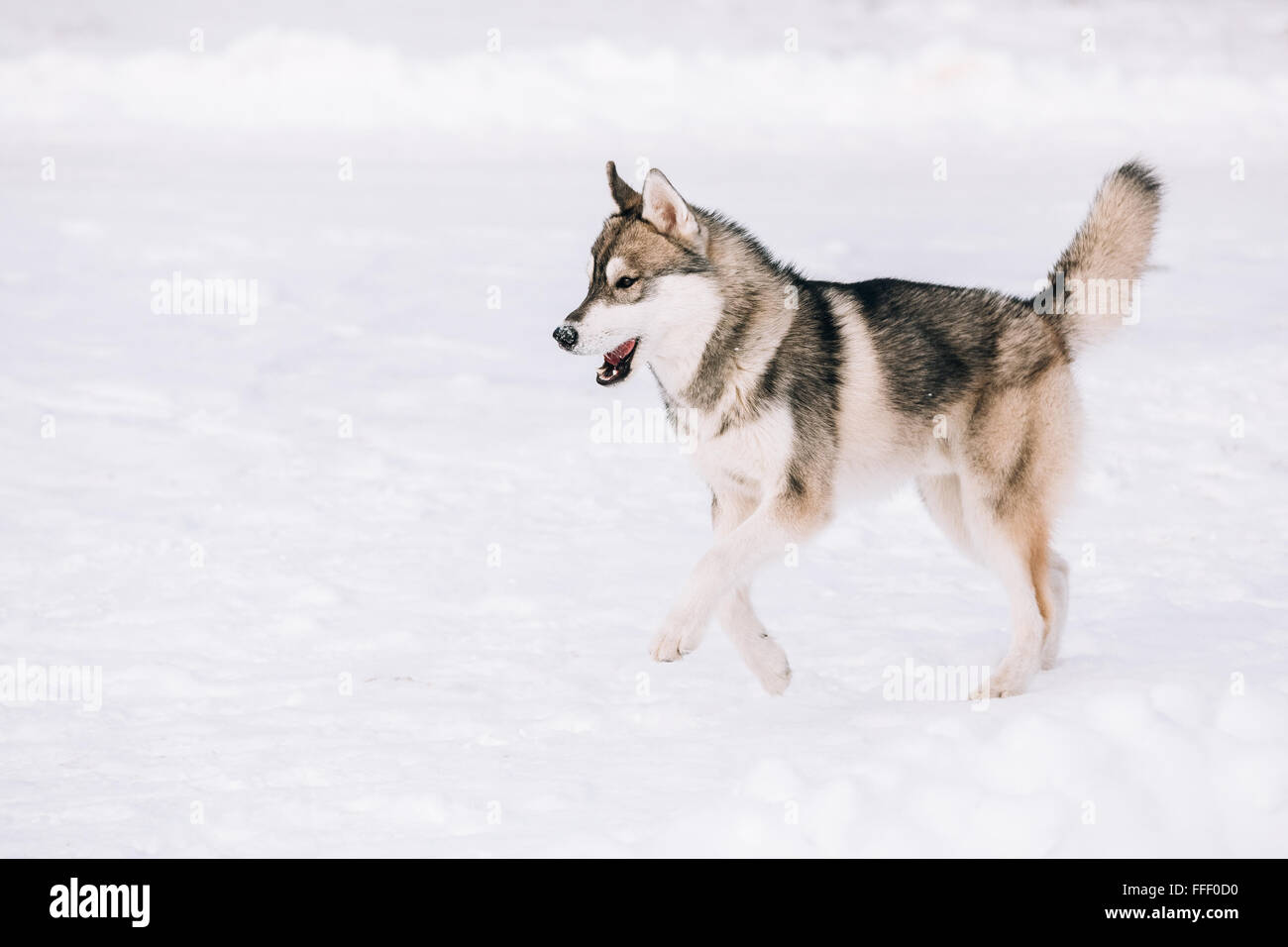 Young Husky dog play and running outdoor in snow, winter season. Sunny day - Stock Image