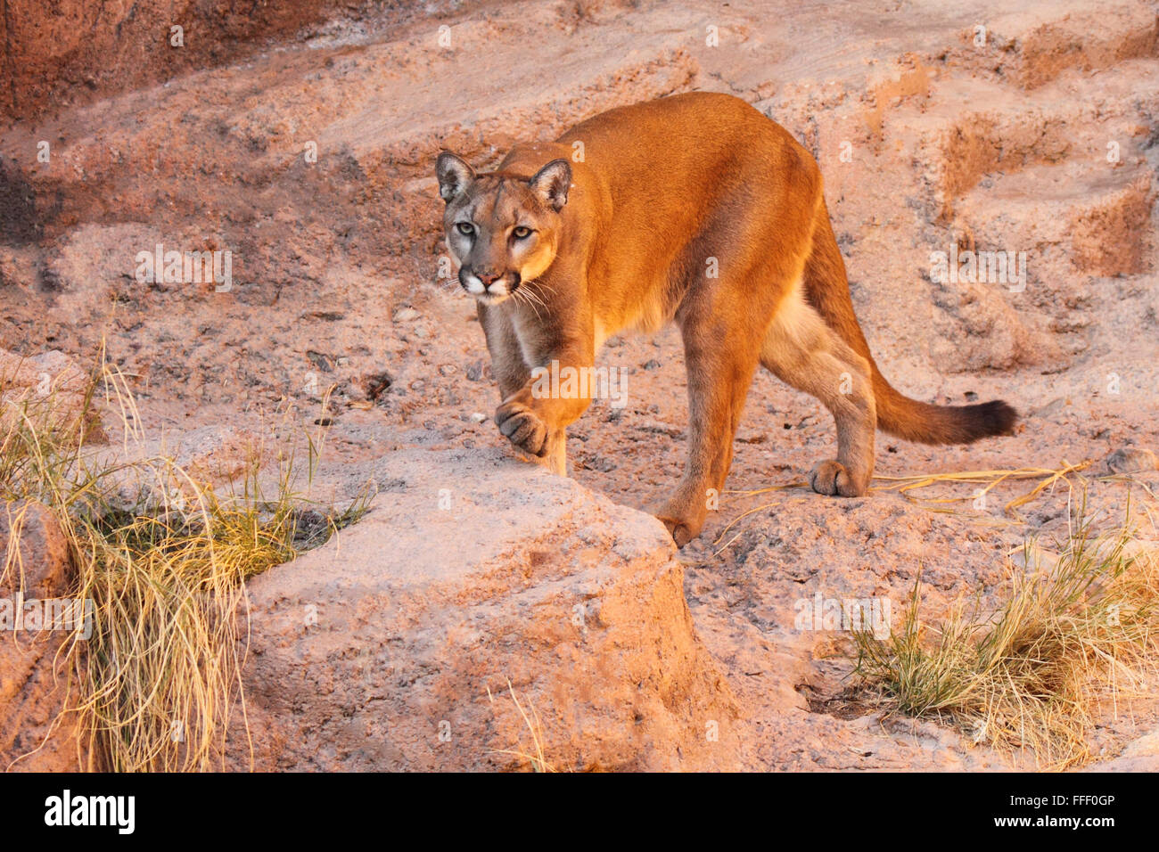 A Puma stepping up. - Stock Image