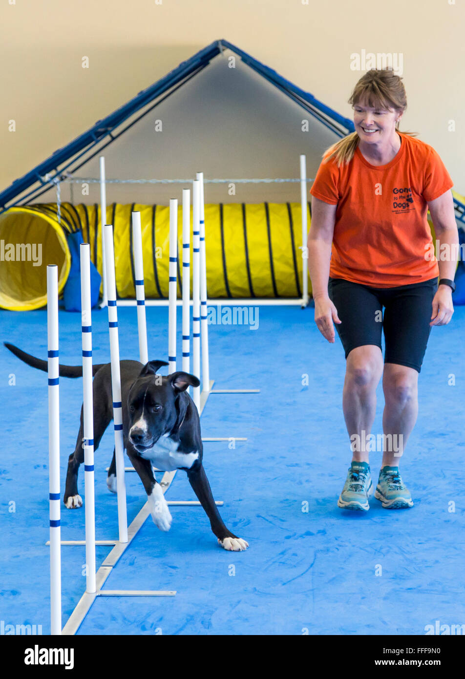 Professional female dog handler training dog to run through slalom obstacle course - Stock Image