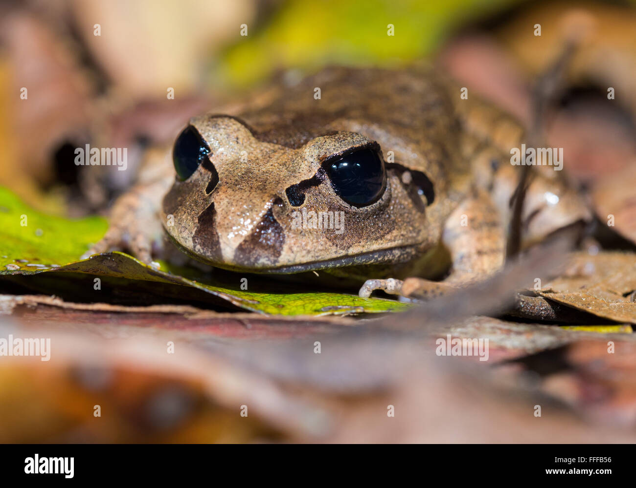 Great Barred Frog (Mixophyes fasciolatus), Nightcap National Park, NSW, Australia - Stock Image