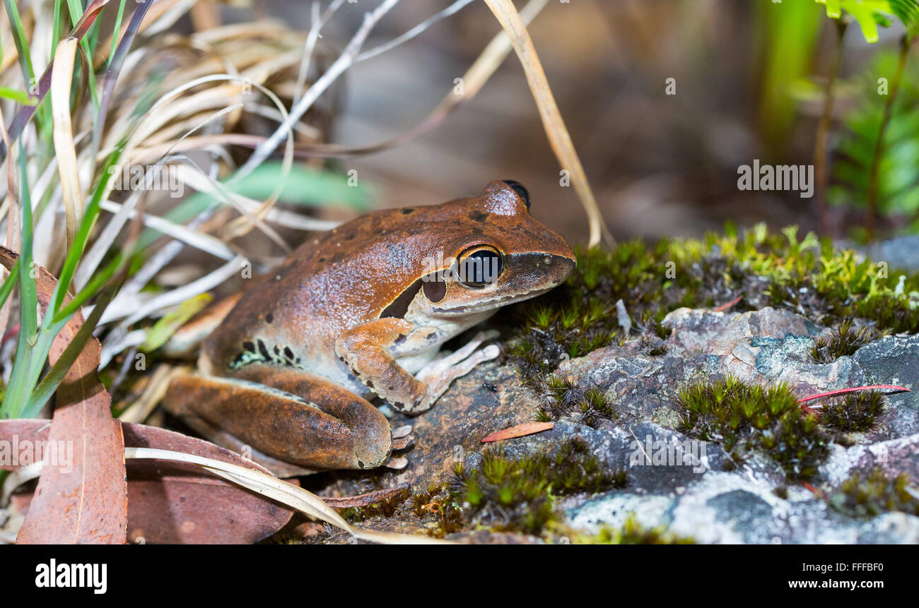 Female Stony Creek Frog (Litoria wilcoxii), NSW, Australia - Stock Image