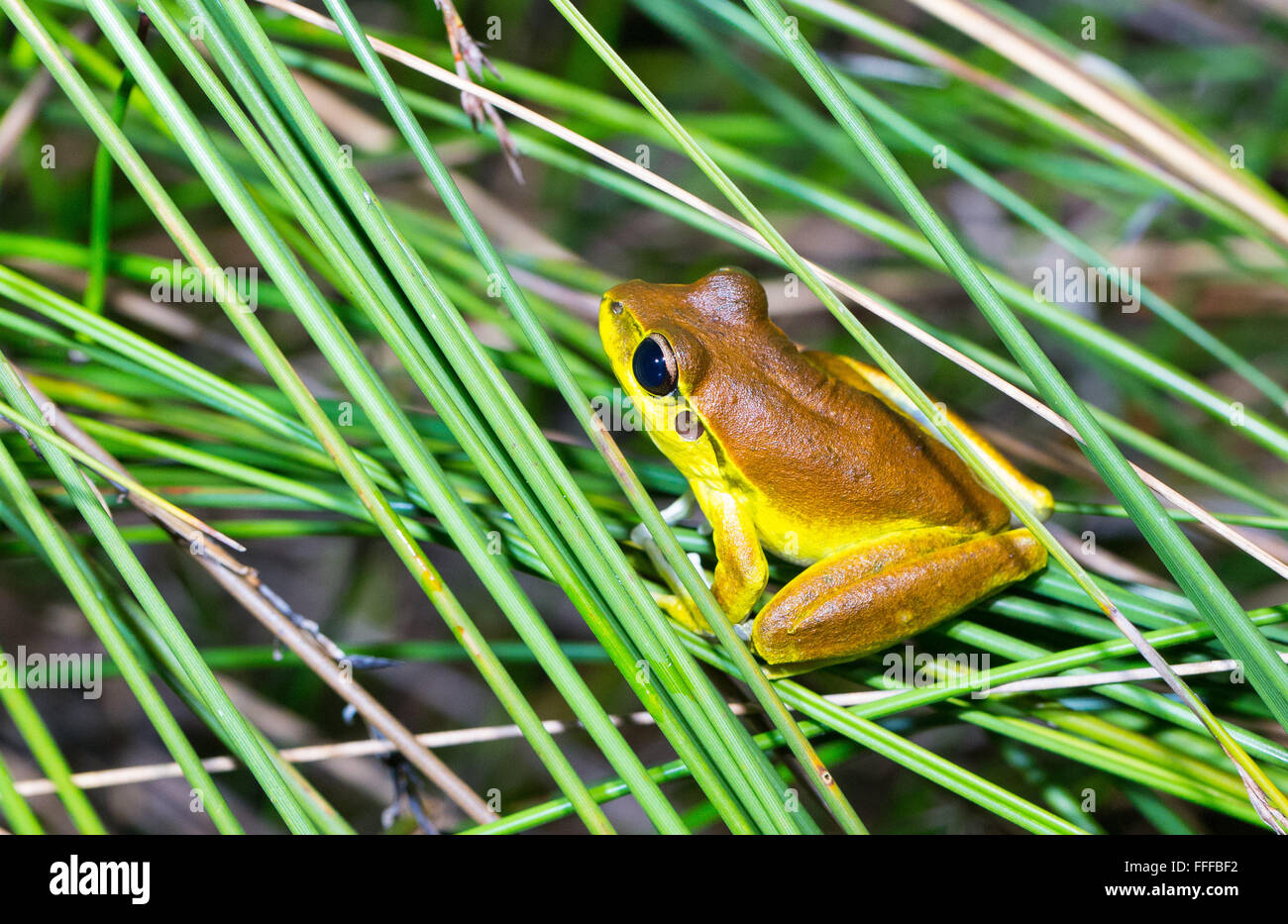 Male Stony Creek Frog (Litoria wilcoxii), NSW, Australia - Stock Image